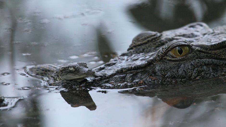 Boss Croc gallery image