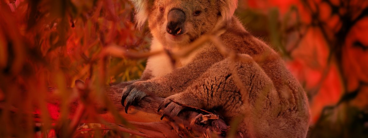 Koala - Phascolarctos cinereus on the tree in Australia, climbing on eucaluptus while the fire on the background. Burning forest in Australia